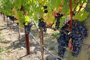Zašto i kako uklanjati listove oko grozdova?