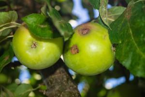Čađavu krastavost jabuke u 2018. pratili na području Gradiške