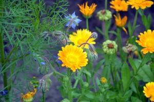 Biljke koje privlače korisne i odbijaju štetne kukce