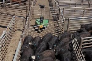 Cargill: Prvi robot za gonjenje stoke na farmama