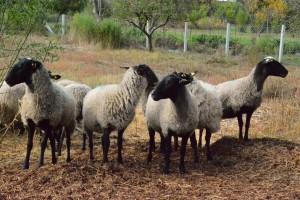 Zaraznu šepavost ovaca sprečiti vakcinacijom i redovnom higijenom