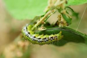 Oprez! U HBŽ uočena pojava šimširovog moljca
