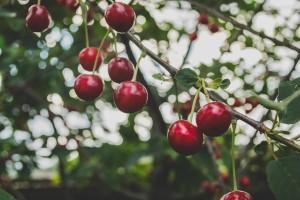 Koliki je vijek trajanja stabla voćaka?