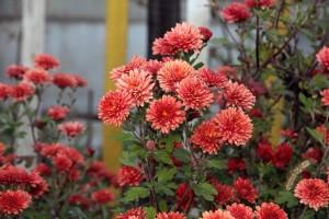 Krizantema - jesenska ruža ukras je i u hladnim danima