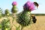 Na tržištu traženo ekouzgojeno bilje - sikavica, pir, lan...