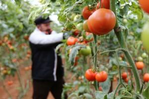 Cijena turskog paradajza porasla za 400 % - iz proizvodnje ga izgurale banane i južnoamerički moljac paradajza