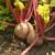 Cikla: Lišće zdravije od korijena - posijte ju