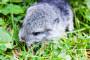Zakon o zaštiti životinja ne štiti činčile?