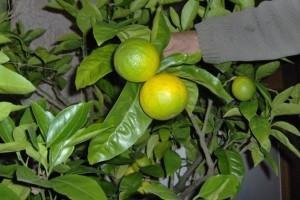 Kako da odnegujete sadnice južnog voća?