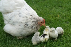 Zaštitite živinu od salmonele preventivnim mjerama
