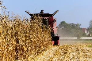 DZS: Proizvodnja kukuruza 7,4 posto veća, manje šećerne repe i suncokreta