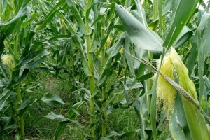 Velika zemljišna vlaga u kukuruzu umanjiće prinose?
