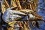 U Pomoravlju kukuruz neobran na 500 ha