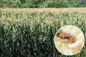 Zaštitite kukuruz od opasnog prouzrokovača plesnivosti klipa