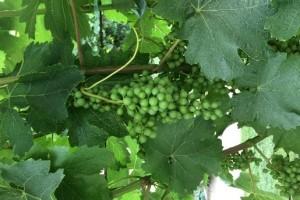 Bayer savjeti za vinogradare 03.07.-08.07.2018.