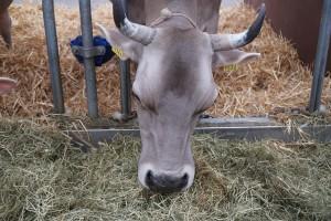 Lucerna: Kvalitetno krmivo za mliječne krave, konje i starije kategorije svinja