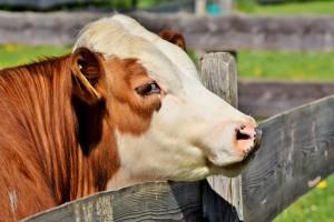 Potpore govedarstvu i Pravilnik o područjima s ograničenjima