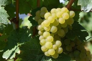 Prvi središnji stručni skup vinogradara i vinara Hrvatske u svibnju