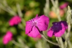 Vjenčasta rumenika - raskošna ružičasta nostalgija