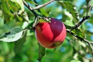 Kako do dobre crvene boje jabuke?