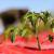 Primjena raznobojnih malč folija u povrćarstvu