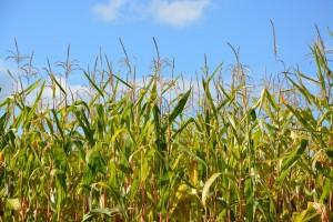 Crvenilo kukuruza je opasno oboljenje i znatno smanjuje prinos