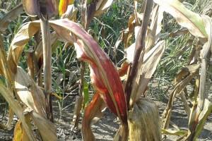 Crvenilo kukuruza može da smanji prinos od 40% do 90%