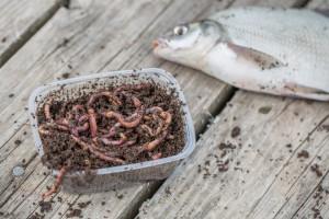 Kako uzgojiti crve i gliste za ribolov?