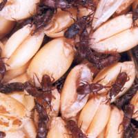 Žitni žižak: Provjerite vaše uskladištene količine žitarica