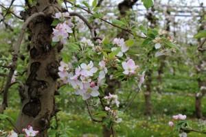 Oblačno do nedelje: jabuka osetljva na infekcije