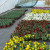 Proizvodnja cveća zahtevna, ali isplativa