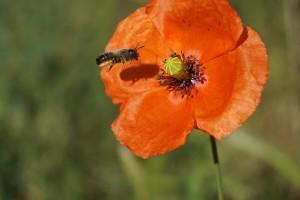 Pomažu pčelama: Podelili porodicama kuglice sa divljim cvećem