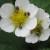 Na cvetovima jagoda pojavila se štetočina Anthrenus pimpinellae - kako je suzbiti