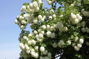 Najlepše cvetne ograde sa Viburnum vrstama