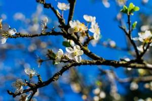 Za hemijsko proređivanje cvetova i plodova važan je pravi momenat