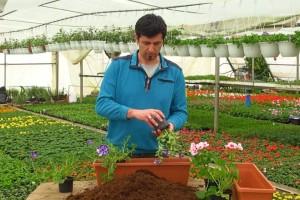 Sadnja cvijeća: Bujnije lončanice dobiju se kombinacijom puzavih i grmolikih biljaka
