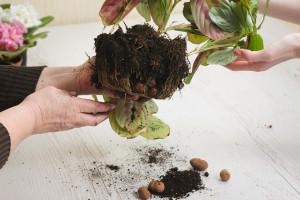 Gljivične bolesti cvijeća u zatvorenom prostoru