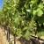 APPRRR: Produžen rok za podnošenje prijava za restrukturiranje i konverziju vinograda