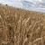 Gluten u pšenici: Šta se promenilo tokom 120 godina gajenja?