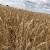 Gluten u pšenici: Što se promijenilo tijekom 120 godina uzgoja?