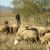 Profesor engleskog ne odustaje od porodične tradicije - ovčarstva