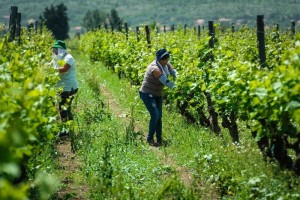 Povratak Dalmacijavina, svježe vino specifične arome R