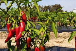 Šafram digao otkupnu cijenu paprike na 3,20 kn/kg - zarada oko 30 tisuća kn/ha