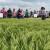 Žetva ozimog pivarskog ječma počinje 10. lipnja, očekuju se prinosi od najmanje 7 tona po hektaru