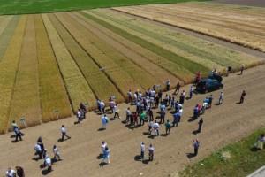 Žetva pšenice u Semberiji već počela - prinosa će biti, ali kvalitet je lošiji nego lani?