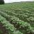 Okopavine imaju velike potrebe za hranjivima - za bogati prinos obavite kvalitetnu prihranu