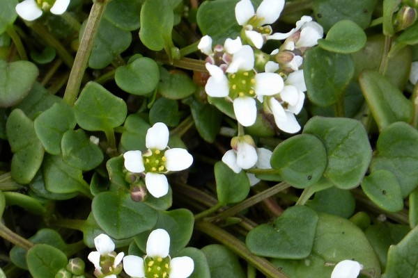 Stara vrsta povrća: Lekovitu kašikaru posejte još u septembru
