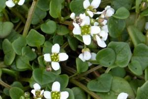 Stara vrsta povrća: Ljekoviti žličnjak stignete posijati još u rujnu