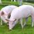 U Srbiji novi slučaj afričke svinjske kuge
