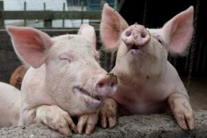 Tko je jači od klasične svinjske kuge - proizvođači ili pak administracija